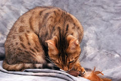 Bengal cat attacking toy. Adult male bengal cat attacking feathered toy Royalty Free Stock Image