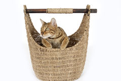 Bengal cat in basket. Cute bengal cat in wicker basket, isolated on white background Stock Photography
