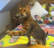 Bengal cat on a bed Stock Photos