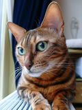 Bengal cat: Bengal cat head looking shy away from camera Stock Photo