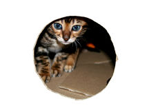 Bengal cat: Bengal cat kitten head through look hole in white Royalty Free Stock Images