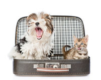 Bengal cat and Biewer-Yorkshire terrier with open mouth sitting in bag. isolated on white Stock Photography