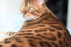 Bengal Cat with big yellow eyes. Big Bengal cat with giant yellow eyes stock images