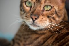 Bengal Cat with big yellow eyes. Big Bengal cat with giant yellow eyes royalty free stock photos