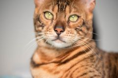 Bengal Cat with big yellow eyes. Big Bengal cat with giant yellow eyes royalty free stock image