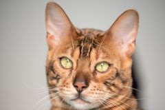 Bengal Cat with big yellow eyes. Big Bengal cat with giant yellow eyes stock photography