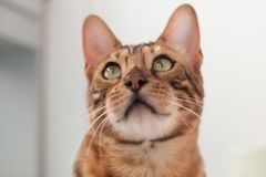 Bengal Cat with big yellow eyes. Big Bengal cat with giant yellow eyes stock photos