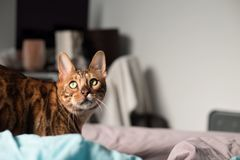 Bengal Cat with big yellow eyes. Big Bengal cat with giant yellow eyes royalty free stock photography
