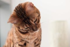 Bengal Cat with big yellow eyes. Big Bengal cat with giant yellow eyes, and head tilted royalty free stock images