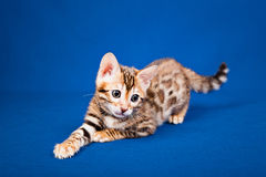 Bengal cat on blue background Stock Image