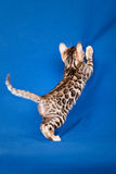 Bengal cat on blue background Stock Photo