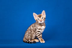 Bengal cat on blue background Royalty Free Stock Image