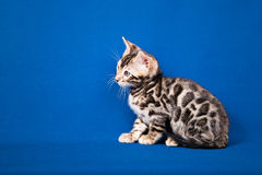 Bengal cat on blue background Stock Photos