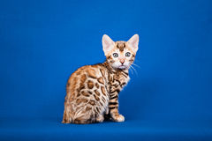 Bengal cat on blue background Royalty Free Stock Photography