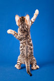 Bengal cat on blue background Royalty Free Stock Photos