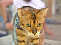 Bengal Cat in a camouflage scarf. Looking to something Royalty Free Stock Photo