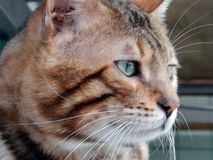 Bengal cat close-up. Image with different muzzle expressions. Closeup Royalty Free Stock Photo