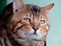 Bengal cat close-up. Image with different muzzle expressions. Closeup Stock Images