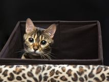 Free Bengal Cat Close-up Portrait On A Black Background Stock Photography - 106547342