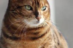Bengal Cat. Closeup of a Bengal Cat Royalty Free Stock Photography