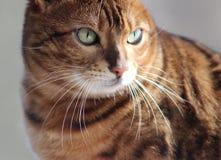 Bengal Cat. Closeup of a Bengal Cat Royalty Free Stock Photos