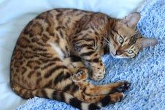 Bengal cat comfortably sleeping portrait Stock Photos