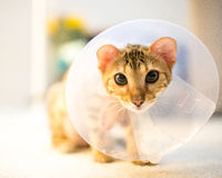 Bengal cat with cone collar Royalty Free Stock Photos