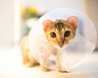 Bengal cat with cone collar royalty free stock photos