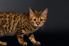 Bengal Cat Curious Looking in Camera on Black Royalty Free Stock Image