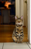 Bengal Cat Stock Photos