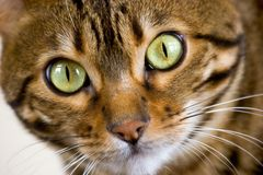 Bengal Cat Face Royalty Free Stock Images