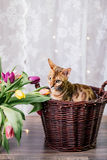 Bengal cat with flowers Royalty Free Stock Photography