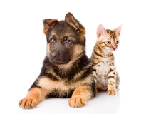 Bengal cat and german shepherd puppy dog looking at camera. isolated Stock Photo