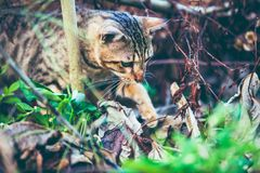 Bengal cat go hunting in forest. Outdoor with bright sunlight. Pretty bengal cat look for food and gaze on something in forest. Outdoor at daytime with bright Royalty Free Stock Images