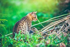Bengal cat go hunting in forest. Outdoor with bright sunlight. Pretty bengal cat look for food and gaze on something in forest. Outdoor at daytime with bright Stock Images