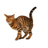Bengal cat is going to crap on white. Background Royalty Free Stock Photo