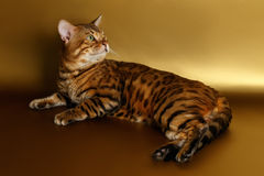 Bengal Cat on Gold background and Looking back Royalty Free Stock Photo