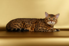 Bengal Cat on Gold background and Looking in camera Royalty Free Stock Photography
