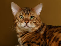 Bengal Cat on Gold background and Looking in Royalty Free Stock Photos