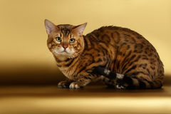 Bengal Cat on Gold background and Looking in Royalty Free Stock Images