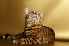 Bengal Cat on Gold background and Looking up Stock Images
