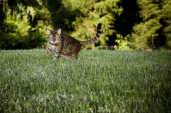 Bengal Cat in grass. Bengal cat breed dramatically stalking the camera through the grass stock images