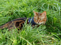 Bengal cat on a harness and leash lying in the grass Royalty Free Stock Photos