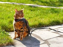 Bengal cat on a harness and leash sitting outside. Marble bengal cat on a harness and leash sitting outside Stock Photo