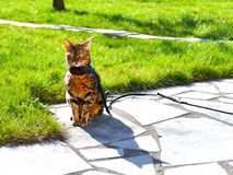 Bengal cat on a harness and leash sitting outside front view. Bengal cat on a harness and leash sitting outside next to a grass meadow front view Royalty Free Stock Photography