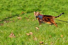 Bengal cat on a harness and leash on a stroll outside in the gra. Marble bengal cat on a harness and leash on a stroll outside in the grass side view Stock Image
