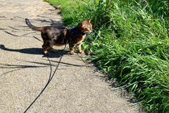 Bengal cat on a harness and leash on a stroll outside. Near a field Royalty Free Stock Photos