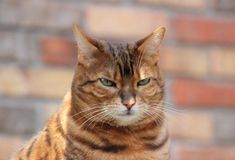 Bengal Cat. Head shot of a Bengal Cat Stock Photos