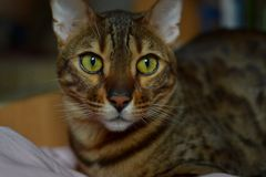Bengal cat in his true colors Stock Photos