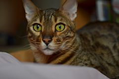Bengal cat in his true colors Royalty Free Stock Images